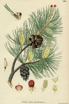 nelboscodelladea_pine