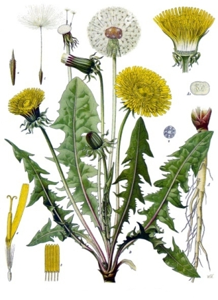 Taraxacum officinale L.