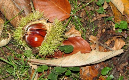 chestnut-199355_640
