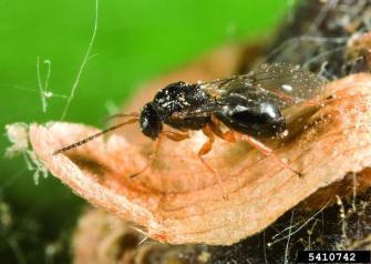 Dryocosmus_kuriphilus