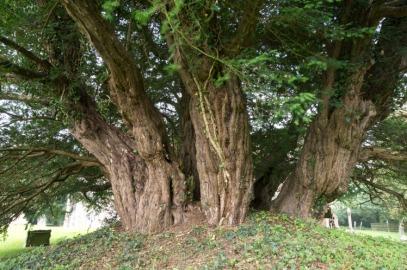 Il Tasso di Ashbrittle, che si stima abbia più di 3000 anni