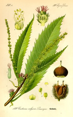 Illustration_Castanea_sativa0