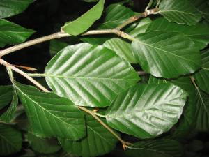 Fagus_sylvatica_'atropurpurea_pendula'_leaves_01_by_Line1