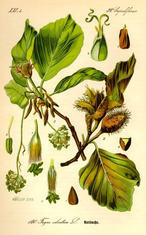Illustration_Fagus_sylvatica0