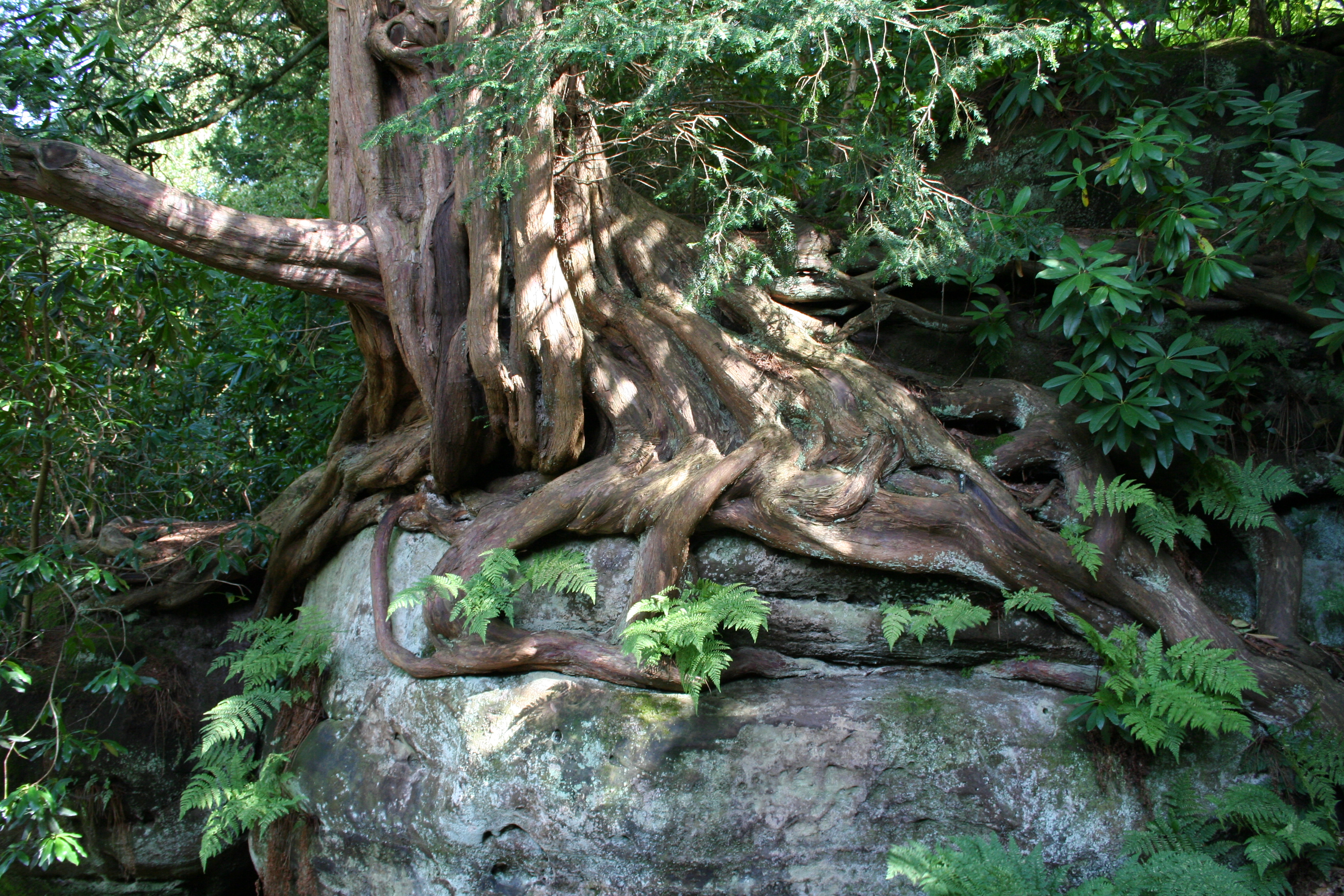 Taxus_baccata_roots_0997