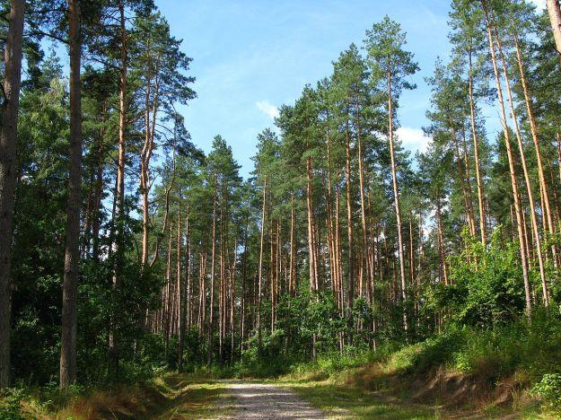 1280px-Pinus_sylvestris_forest_Gietrzwałd