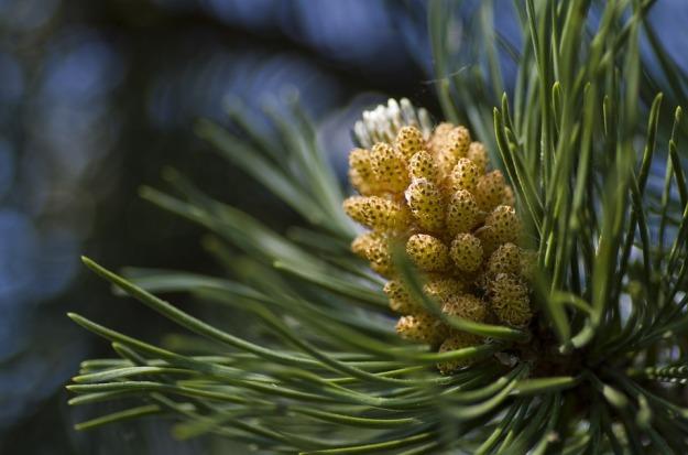 pine-767159_960_720