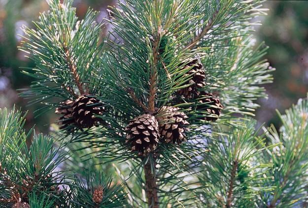 Pinus_sylvestris_branch