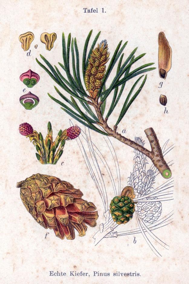 Aus: J. Sturm's Flora von Deutschland