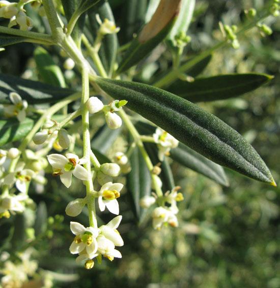 olea-europaea-flowers-2