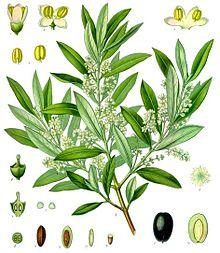 olea_europaea_-_ko%cc%88hler-s_medizinal-pflanzen-229