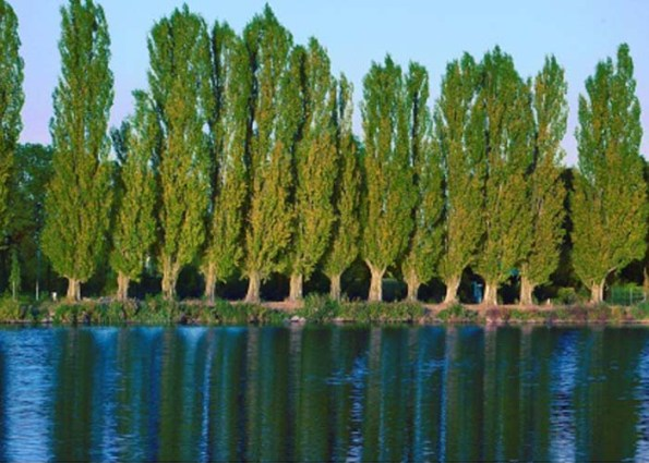 poplar_trees_near_lake_blog