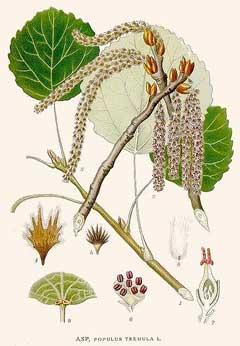populustremula
