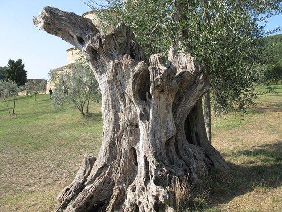 splendido-albero-di-ulivo