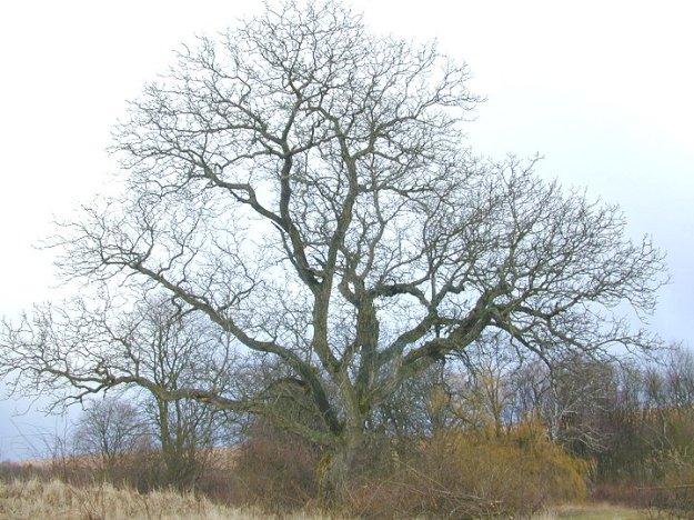 Walnussbaum-alt