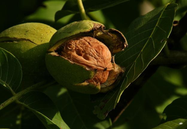 walnut_open_husk